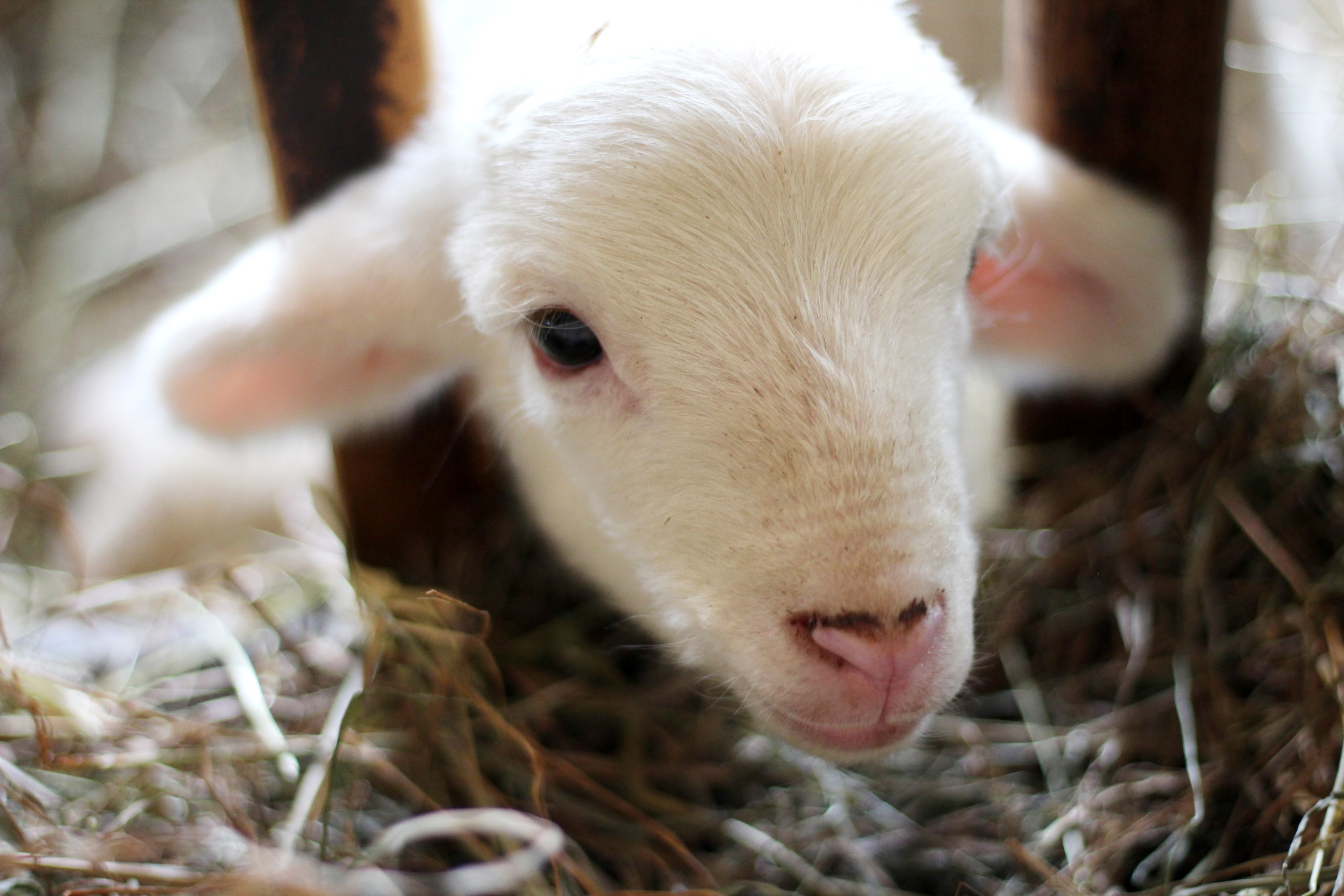 Come bottle feed our precious lambs at Stone & Thistle Farm