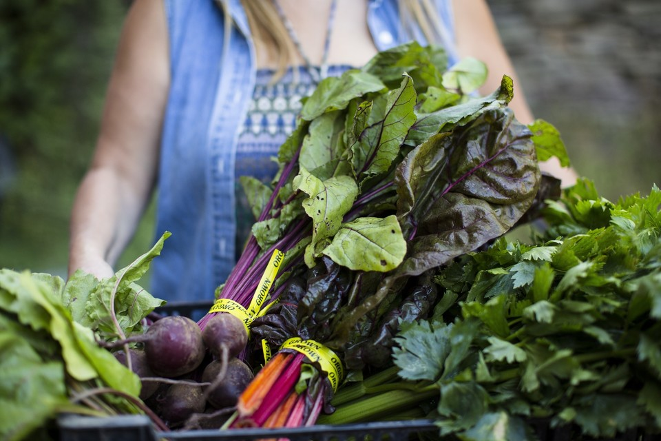 Beet harvest at Lucky Dog Farm in the Catskills