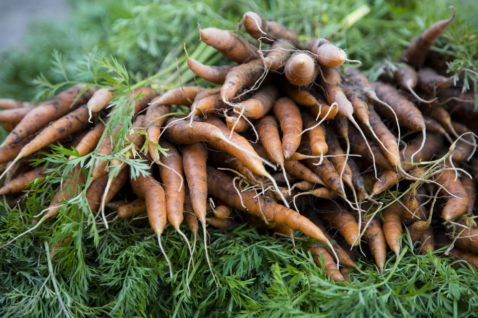 Carrot harvest at Lucky Dog Farm in the Catskills