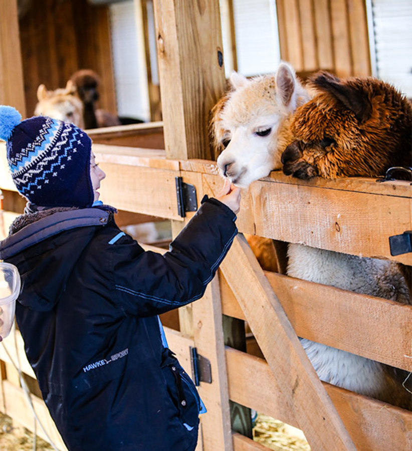 young girl feeding alpacas